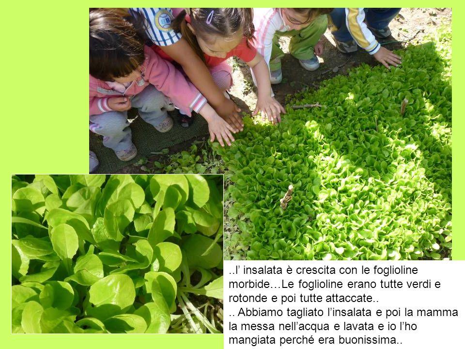 ..l' insalata è crescita con le foglioline morbide…Le foglioline erano tutte verdi e rotonde e poi tutte attaccate..