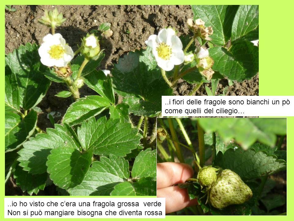 ..i fiori delle fragole sono bianchi un pò come quelli del ciliegio…