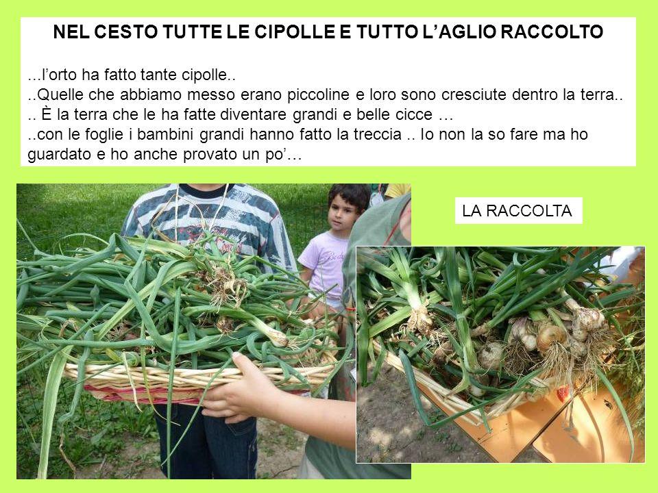 NEL CESTO TUTTE LE CIPOLLE E TUTTO L'AGLIO RACCOLTO