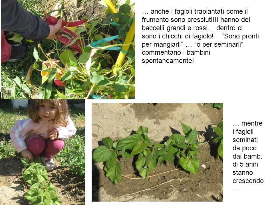 … anche i fagioli trapiantati come il frumento sono cresciuti