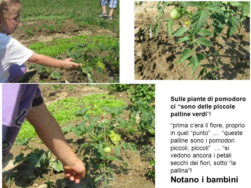 Sulle piante di pomodoro ci sono delle piccole palline verdi !
