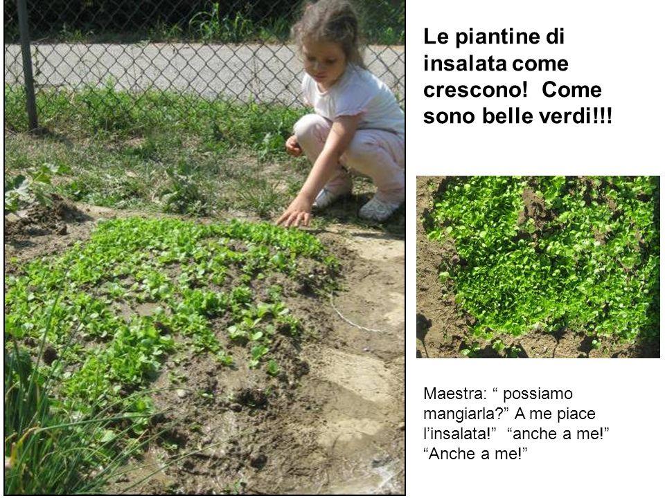 Le piantine di insalata come crescono! Come sono belle verdi!!!