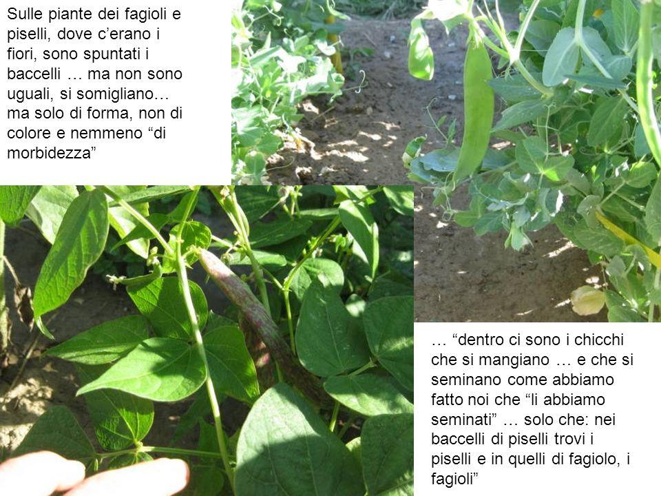 Sulle piante dei fagioli e piselli, dove c'erano i fiori, sono spuntati i baccelli … ma non sono uguali, si somigliano… ma solo di forma, non di colore e nemmeno di morbidezza