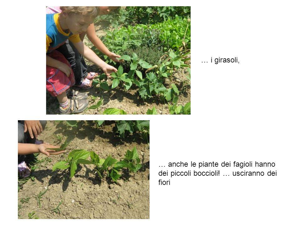 … i girasoli, … anche le piante dei fagioli hanno dei piccoli boccioli! … usciranno dei fiori