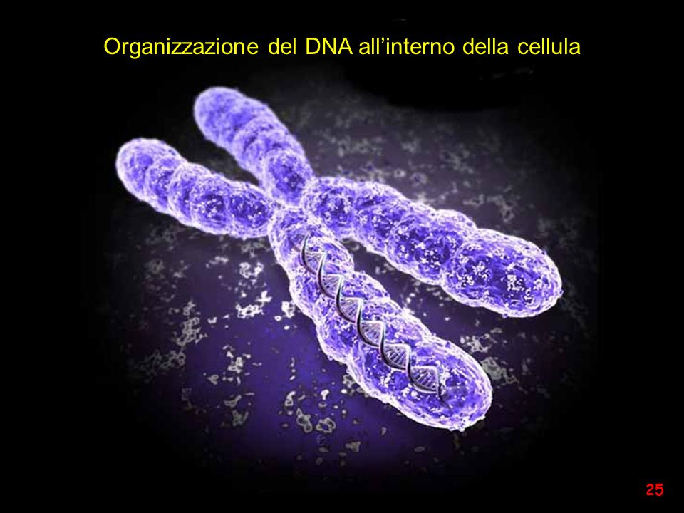 Organizzazione del DNA all'interno della cellula