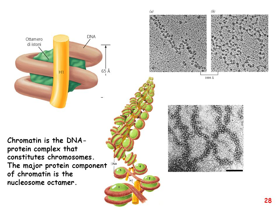 Chromatin is the DNA-protein complex that constitutes chromosomes