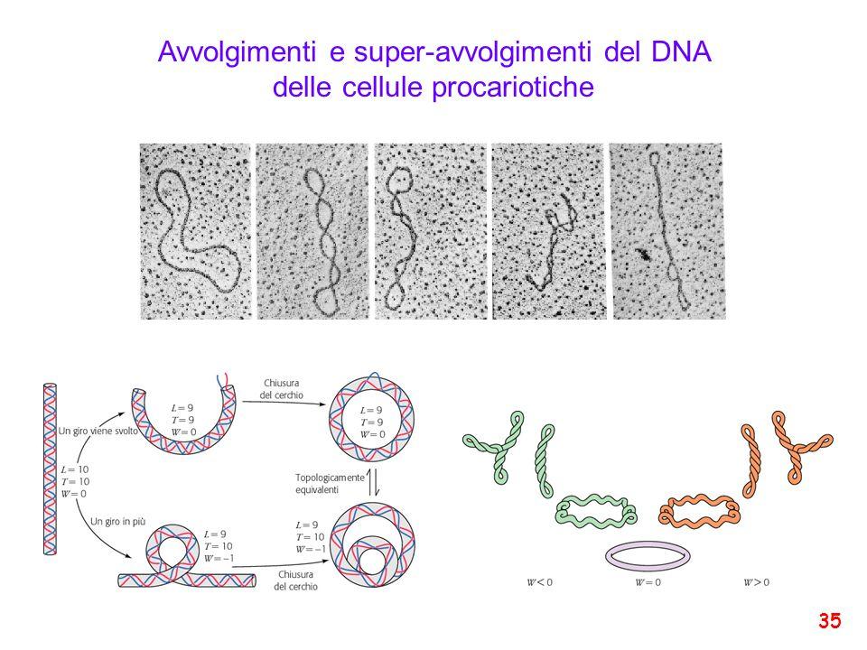 Avvolgimenti e super-avvolgimenti del DNA delle cellule procariotiche