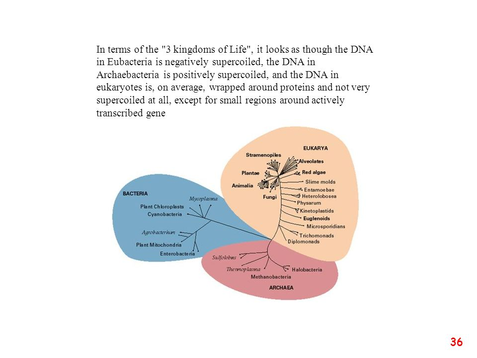 In terms of the 3 kingdoms of Life , it looks as though the DNA in Eubacteria is negatively supercoiled, the DNA in Archaebacteria is positively supercoiled, and the DNA in eukaryotes is, on average, wrapped around proteins and not very supercoiled at all, except for small regions around actively transcribed gene