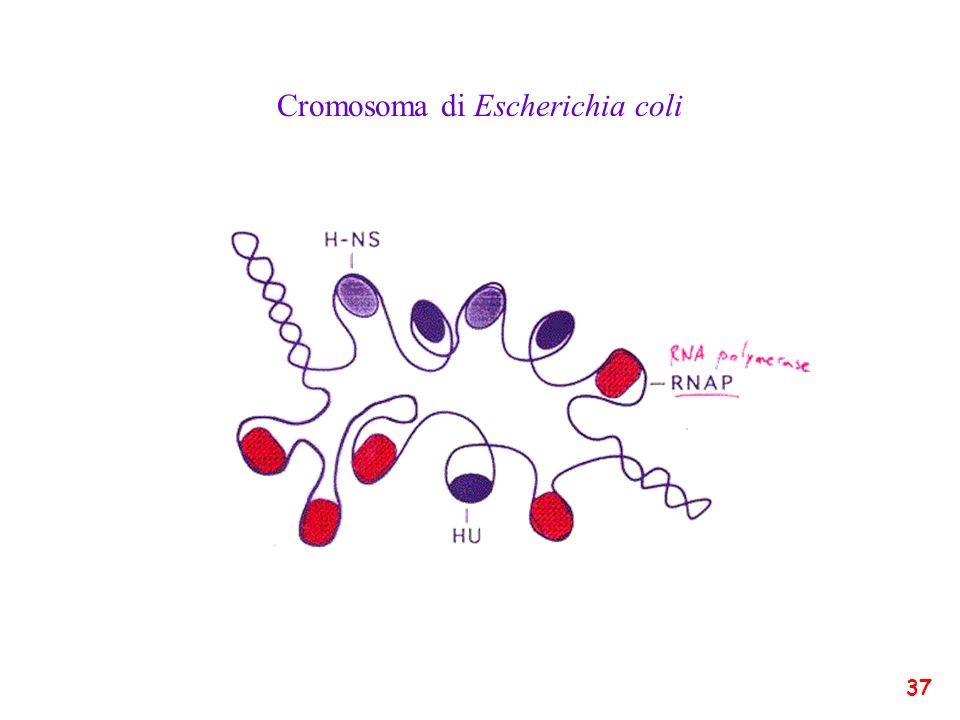 Cromosoma di Escherichia coli