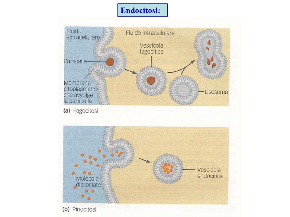 Endocitosi: