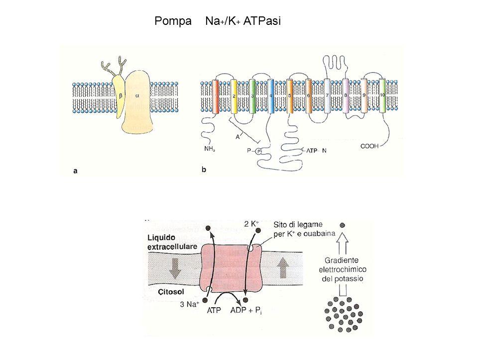 Pompa Na+/K+ ATPasi