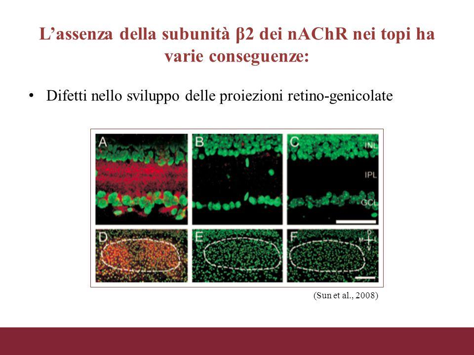 L'assenza della subunità β2 dei nAChR nei topi ha varie conseguenze: