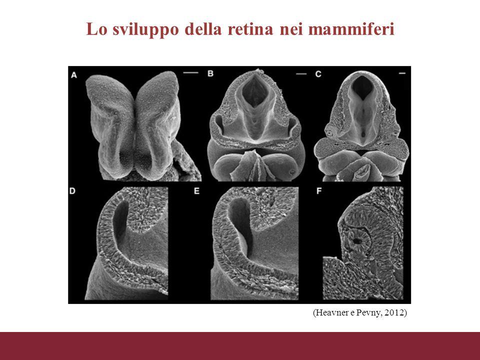 Lo sviluppo della retina nei mammiferi