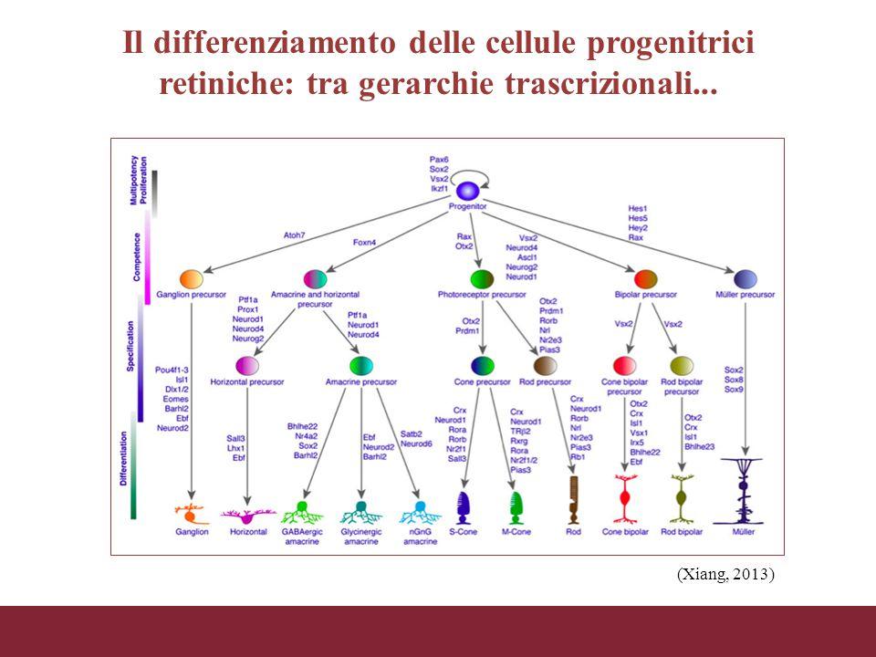 Il differenziamento delle cellule progenitrici retiniche: tra gerarchie trascrizionali...