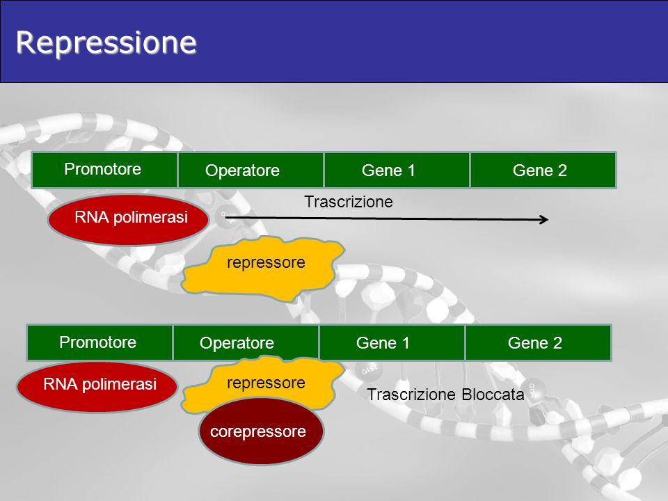 Repressione Promotore Operatore Gene 1 Gene 2 Trascrizione