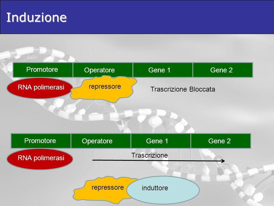 Induzione Promotore Operatore Gene 1 Gene 2 repressore RNA polimerasi