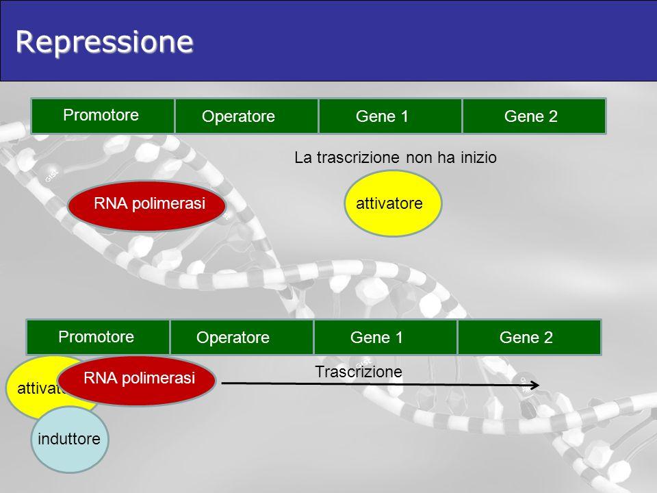 Repressione Promotore Operatore Gene 1 Gene 2