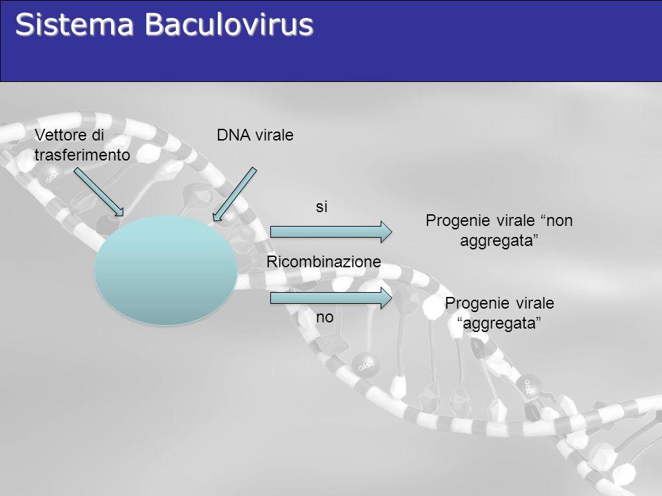 Sistema Baculovirus Vettore di trasferimento DNA virale si