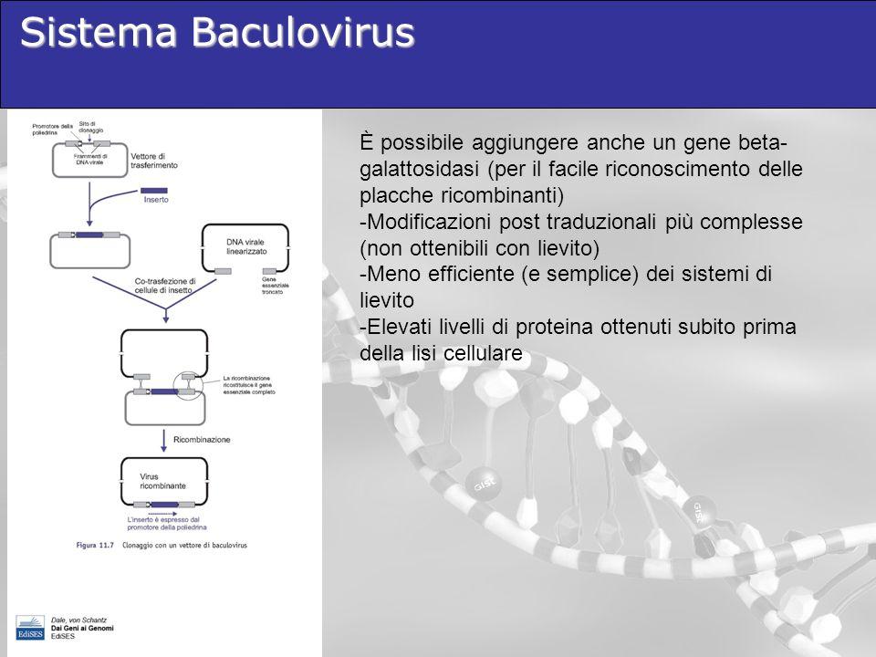 Sistema Baculovirus È possibile aggiungere anche un gene beta-galattosidasi (per il facile riconoscimento delle placche ricombinanti)