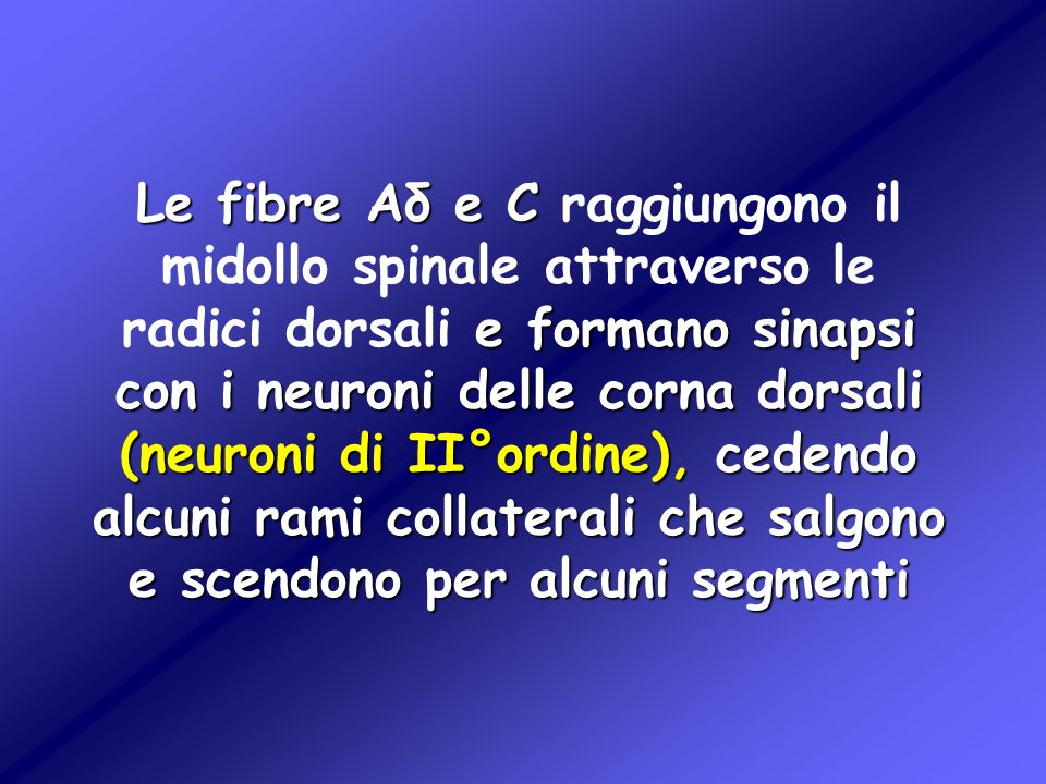 Le fibre Aδ e C raggiungono il midollo spinale attraverso le radici dorsali e formano sinapsi con i neuroni delle corna dorsali (neuroni di II°ordine), cedendo alcuni rami collaterali che salgono e scendono per alcuni segmenti