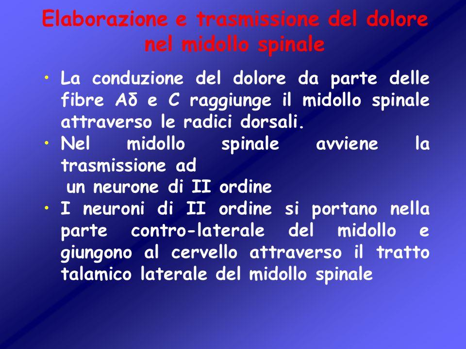 Elaborazione e trasmissione del dolore nel midollo spinale