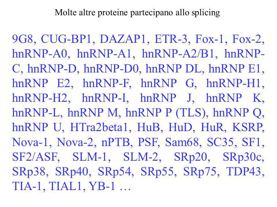 Molte altre proteine partecipano allo splicing