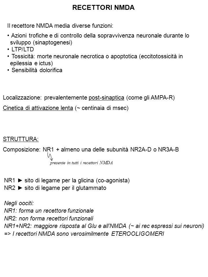RECETTORI NMDA Il recettore NMDA media diverse funzioni: