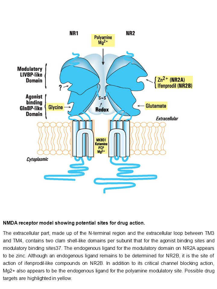 NMDA receptor model showing potential sites for drug action.