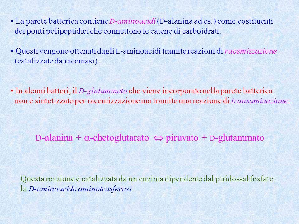 La parete batterica contiene D-aminoacidi (D-alanina ad es