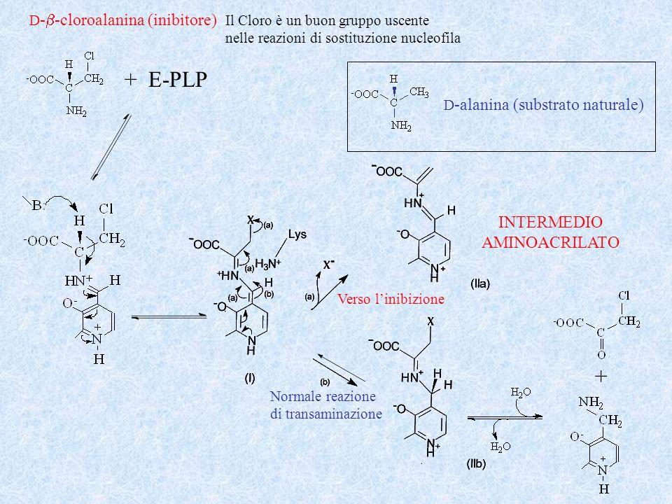 + E-PLP + INTERMEDIO AMINOACRILATO D-b-cloroalanina (inibitore)
