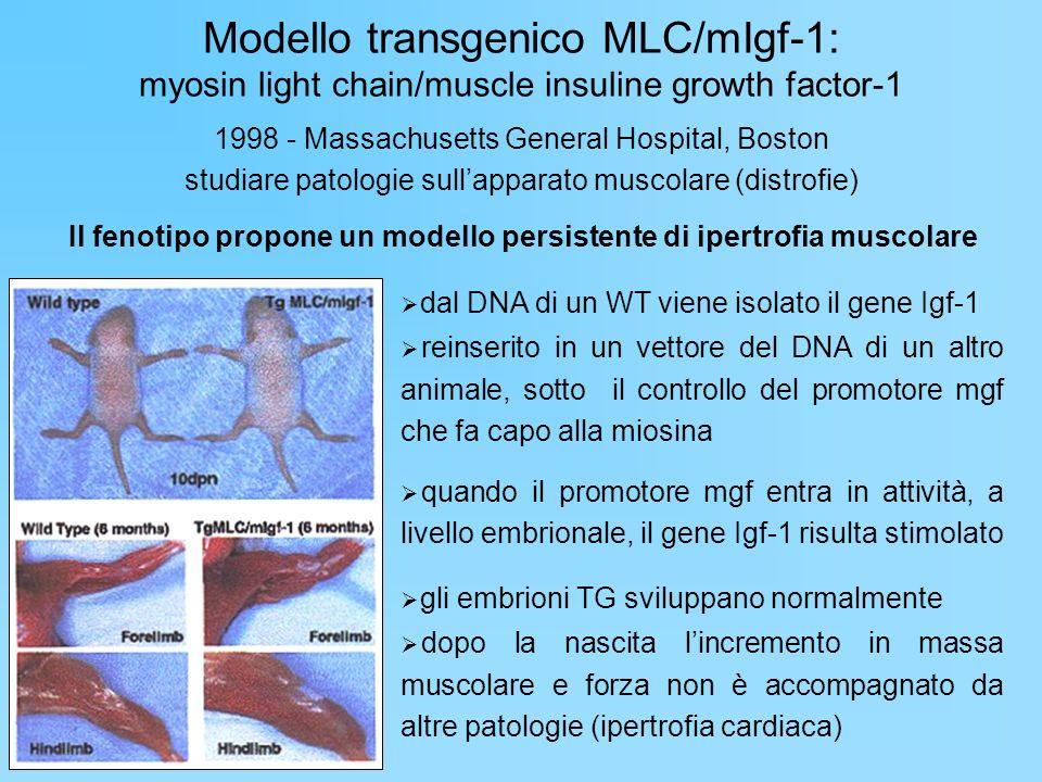 Il fenotipo propone un modello persistente di ipertrofia muscolare