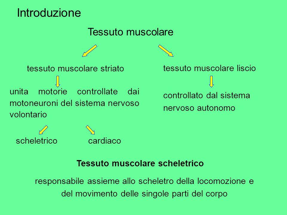 Introduzione Tessuto muscolare tessuto muscolare striato