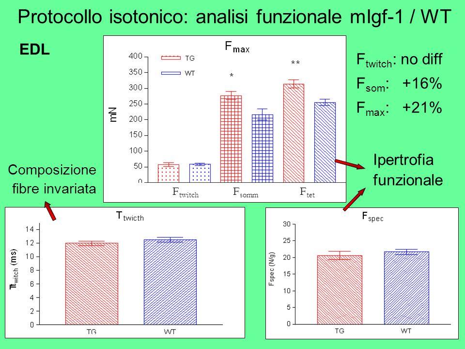 Protocollo isotonico: analisi funzionale mIgf-1 / WT