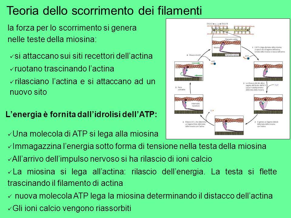 Teoria dello scorrimento dei filamenti