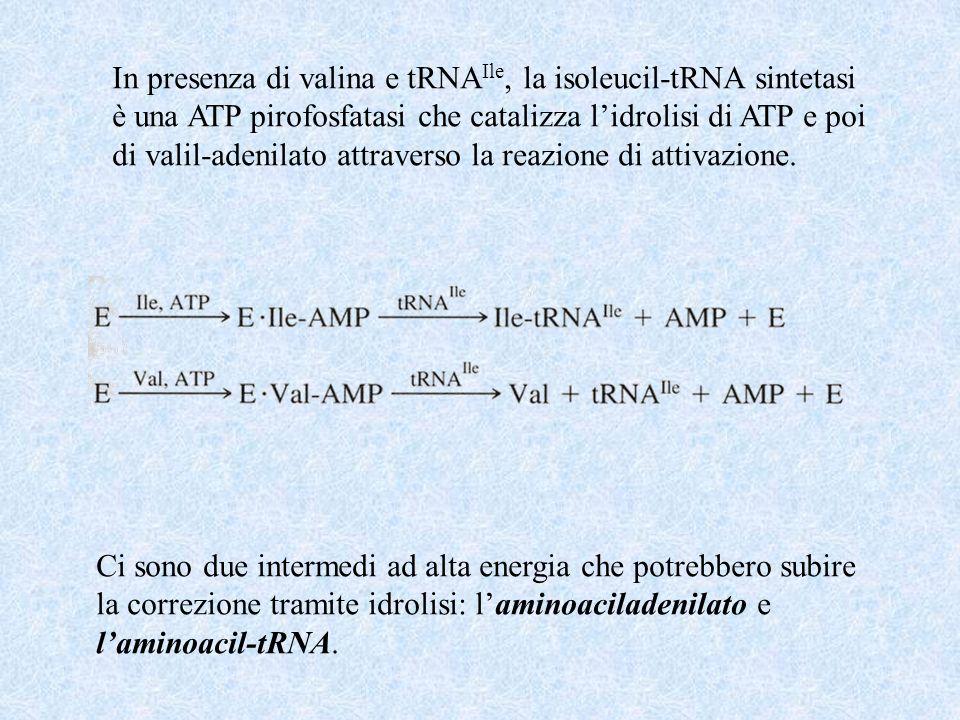 In presenza di valina e tRNAIle, la isoleucil-tRNA sintetasi