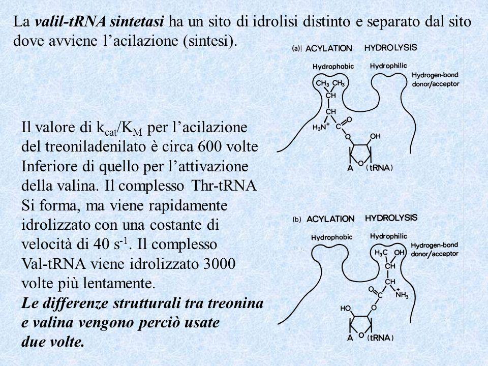 La valil-tRNA sintetasi ha un sito di idrolisi distinto e separato dal sito
