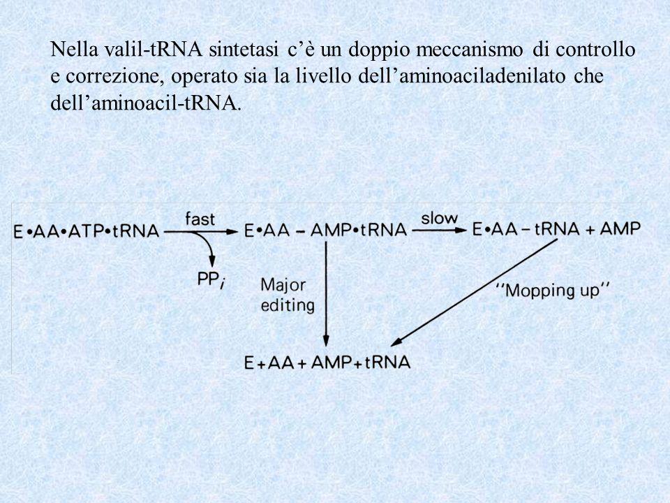 Nella valil-tRNA sintetasi c'è un doppio meccanismo di controllo