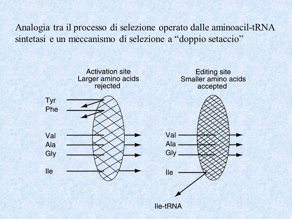 Analogia tra il processo di selezione operato dalle aminoacil-tRNA