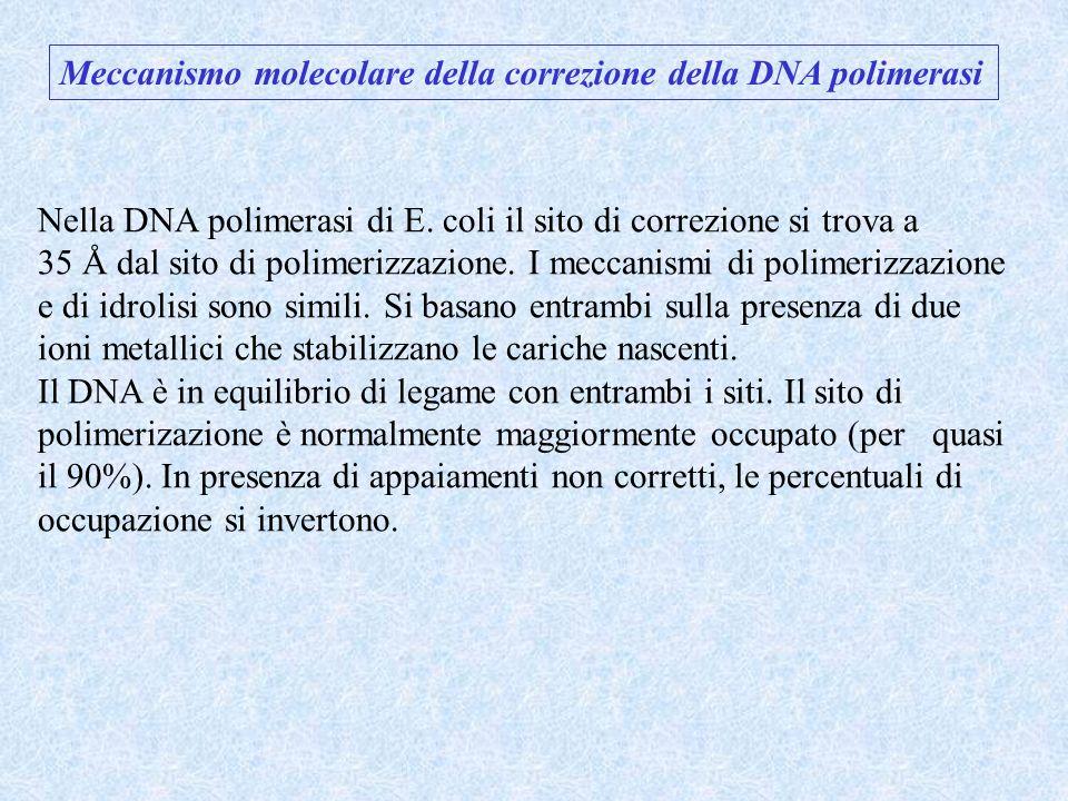 Meccanismo molecolare della correzione della DNA polimerasi