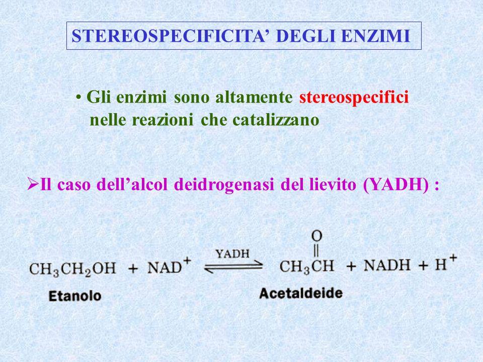 STEREOSPECIFICITA' DEGLI ENZIMI