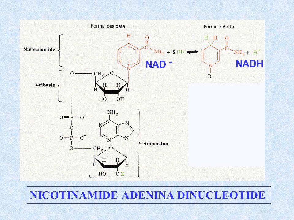 NICOTINAMIDE ADENINA DINUCLEOTIDE