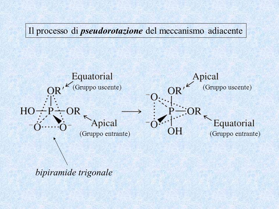 Il processo di pseudorotazione del meccanismo adiacente