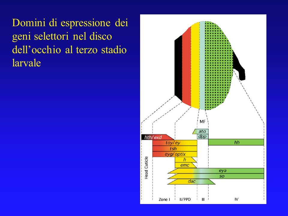 Domini di espressione dei geni selettori nel disco dell'occhio al terzo stadio larvale