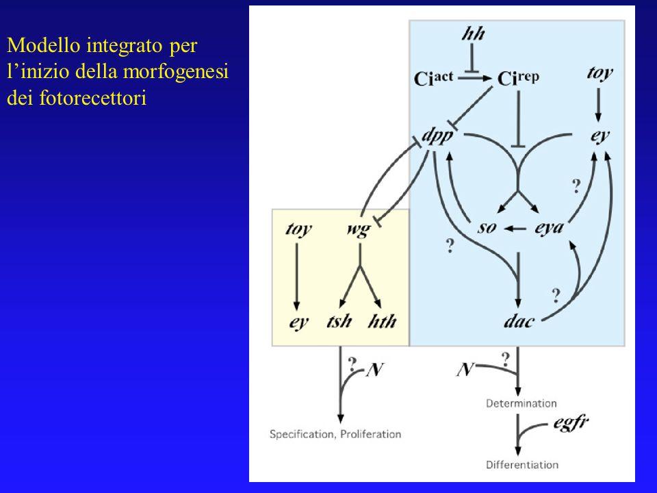 Modello integrato per l'inizio della morfogenesi dei fotorecettori