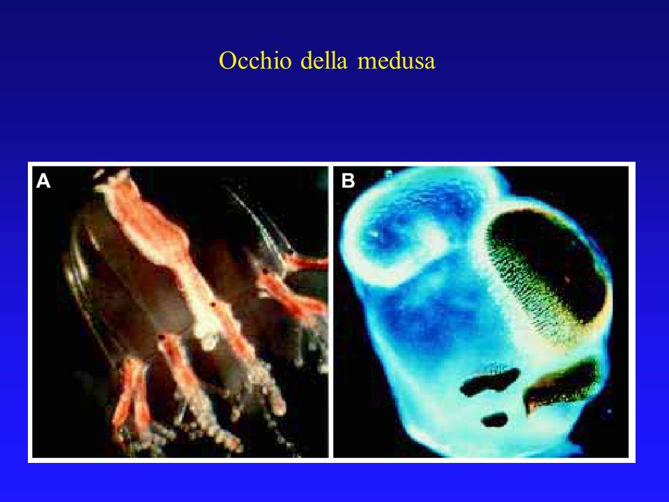 Occhio della medusa