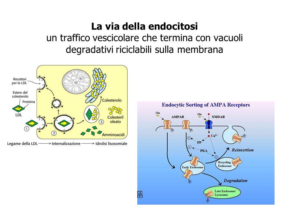 La via della endocitosi un traffico vescicolare che termina con vacuoli degradativi riciclabili sulla membrana