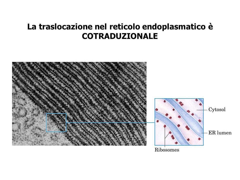 La traslocazione nel reticolo endoplasmatico è COTRADUZIONALE