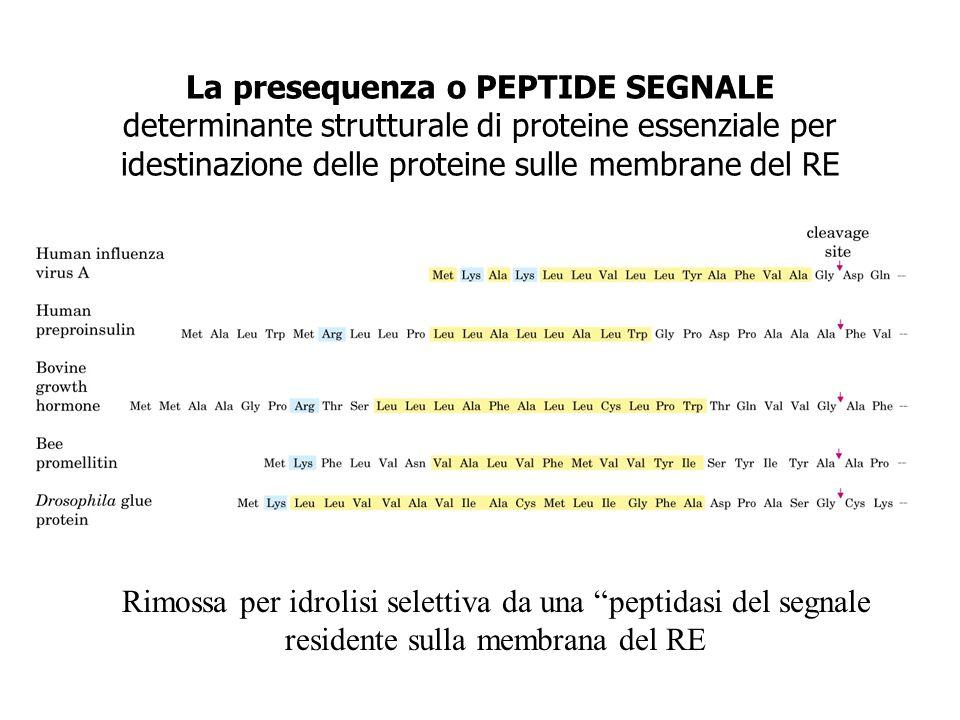 La presequenza o PEPTIDE SEGNALE determinante strutturale di proteine essenziale per idestinazione delle proteine sulle membrane del RE