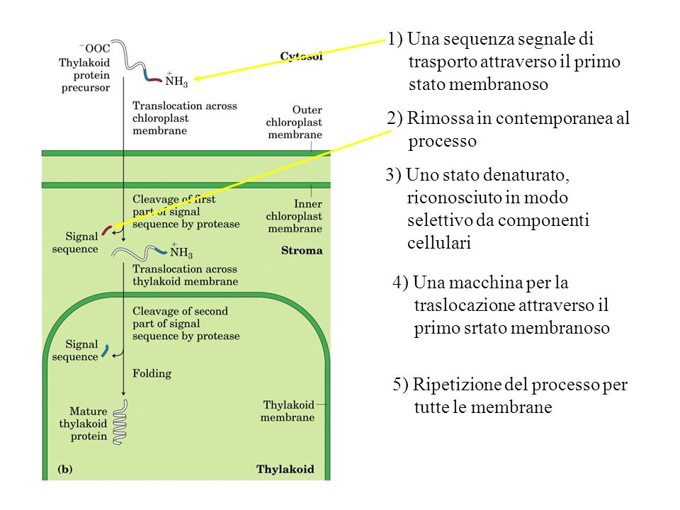 1) Una sequenza segnale di trasporto attraverso il primo stato membranoso