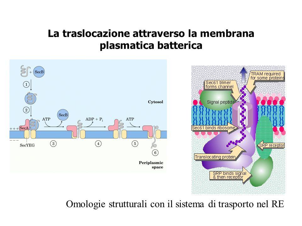 La traslocazione attraverso la membrana plasmatica batterica